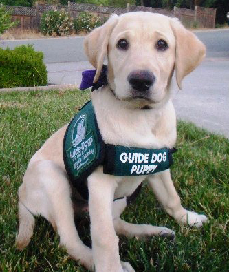 Guide Dog puppy sponsored by Specsavers